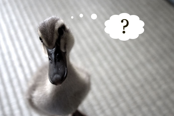 a questioning duck