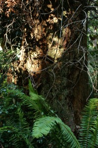 "This old stump was cut back during the days of springboards and whipsaws. A 8"" x 3"" rectangular mark indicates where the end of a board was inserted to allow a man to stand further up the trunk to make the cut. Many of these old stumps remain on the property. They serve as 'nurse stumps' and make great garden centerpieces."
