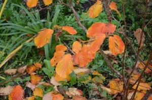 Hamamelis x intermedia glows a deep orange.
