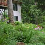 rhodendron garden below the deck - 2014