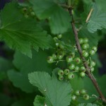 the lower garden - currents are among the berry crops we now grow - 2014