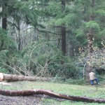 tree falling in the old orchard  -2014