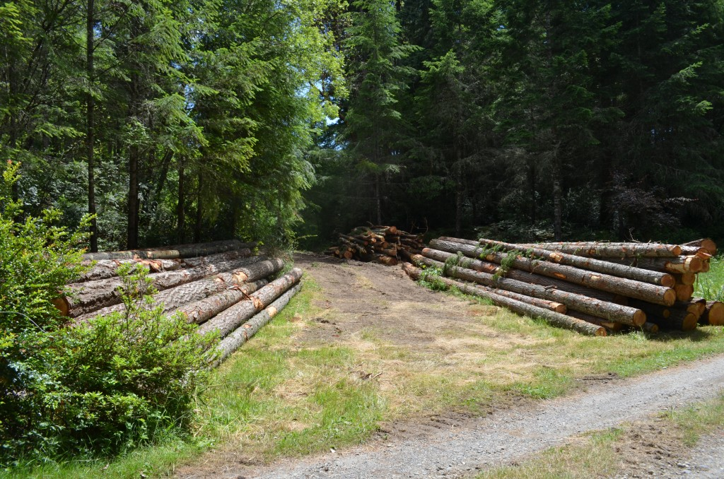 About 50 Douglas fir logs for market