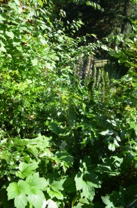 My own personal jungle:  five years later, dogwood, tall Oregon grape, and bear's breeches (Acanthus mollis) form an impenetrable mass of foilage by the barn where there was once a ragged hole. I hope that my forest garden plantings can be as successful.
