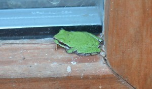 Frog on windowsil