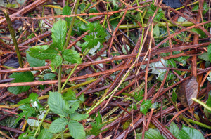 Blackberry thickets effectively block other species from thriving.