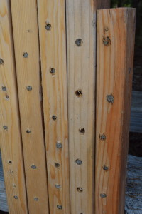 Mason bee nest structure made of 2x4s. Mud plugs show where bees have built nests.