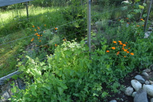 Calendula, peas, and grape vines combine on one trellis.