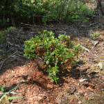 Red-flowered azalea at the base of an old stump.