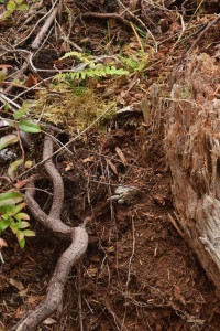 Fern and root on rotted stumpe