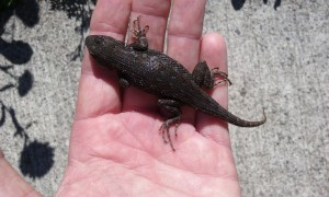 The relatively dull dorsal view of a male Western fence lizard, courtesy of Milo the cat. It lived, and I released it to a small rockery. It is interesting to note that these lizards are comparatively rare in Western WA, occuring primarily in coastal areas, including Fox, McNeil, and Ketron Islands. In SoCal, these animals are much lighter in color as is typical of species in southern vs northern latitudes.